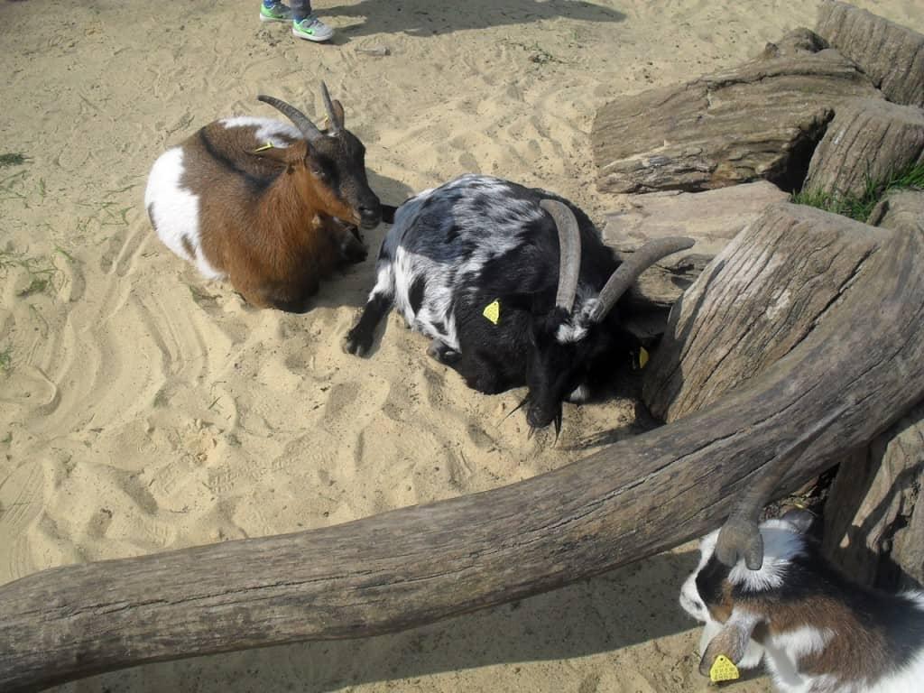 Anschließender Besuch der Ziegen im Streichelzoo